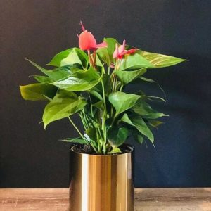 anthurium golden pot