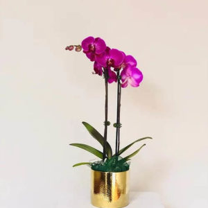 love violet phalaenopsis orchids ivanhoe
