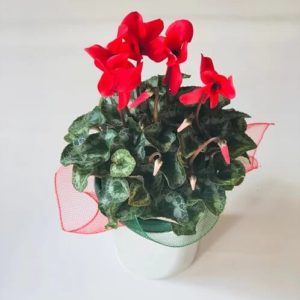 red cyclamen plant with silver pot