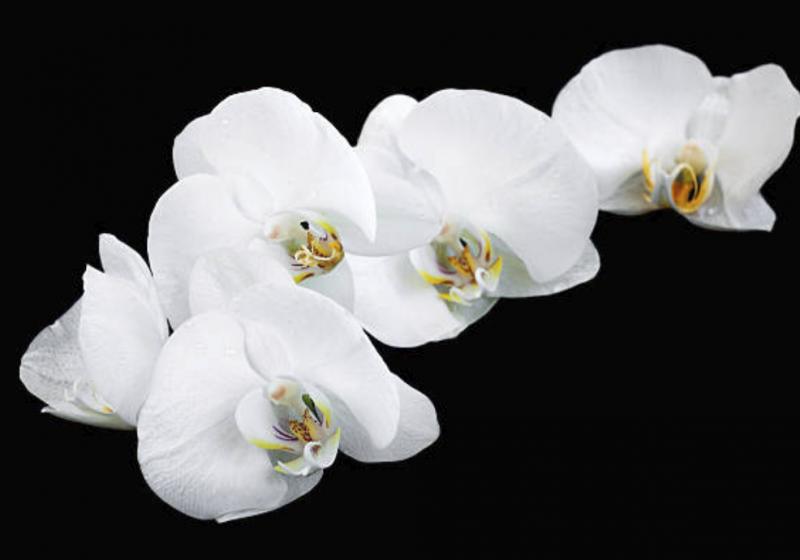 Order orchids online