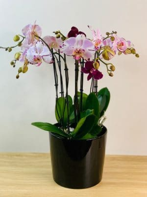 orchid delivery melbourne