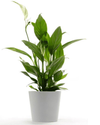 Peace lily for sale in Melbourne