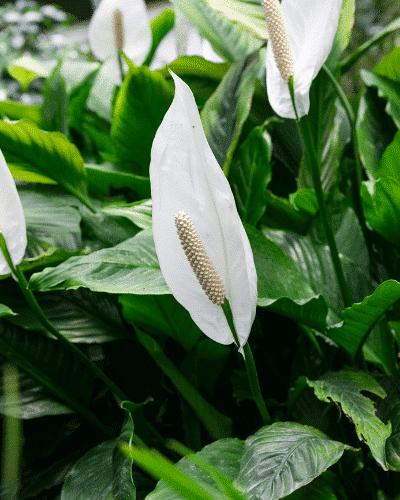 peace lily plant close up