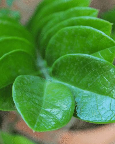 zanzibar plant leaves