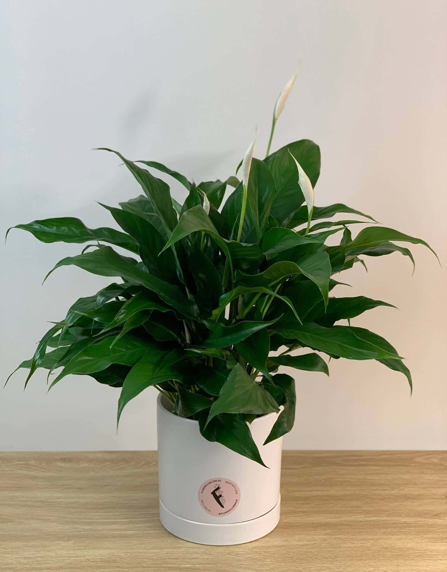 Queen Peace Lily