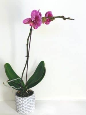 Violet Orchid for sale