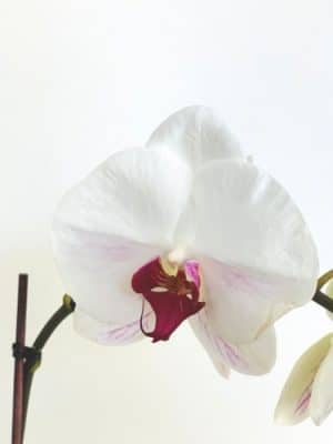 white-violet orchid close up