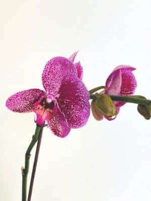purple orchid close up