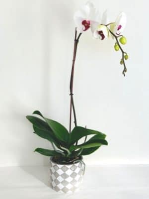 single stem white-violet orchid