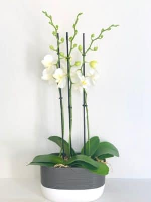 double stems white orchid in a ceramic pot