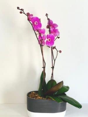 double stem violet orchids