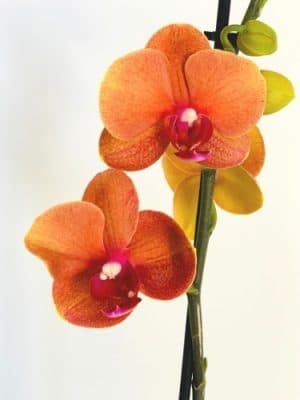 orange orchid for sale