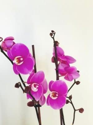 double stem violet orchid close up